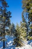 Χιονισμένο κωνοφόρο δάσος Στοκ φωτογραφία με δικαίωμα ελεύθερης χρήσης