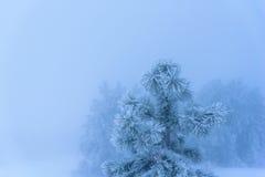 Χιονισμένο πεύκο στο ομιχλώδες υπόβαθρο Ρωσία, Stary Krym Στοκ εικόνες με δικαίωμα ελεύθερης χρήσης