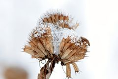 Χιονισμένο Beebalm Στοκ Εικόνες