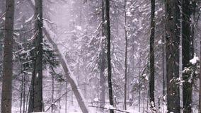 Χιονοθύελλα στο κωνοφόρο δάσος απόθεμα βίντεο