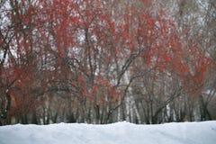 Χιονοπτώσεις με τα κόκκινα μούρα στο υπόβαθρο στοκ εικόνες