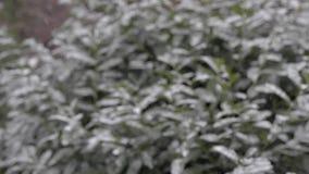 Χιονοπτώσεις στην πόλη Πράσινοι θάμνοι στο χιόνι φιλμ μικρού μήκους
