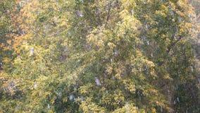 Χιονοπτώσεις του πρώτου φθινοπώρου Το χιόνι αφορά τα δέντρα φθινοπώρου απόθεμα βίντεο