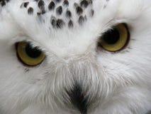 χιονόγλαυκα 2 Στοκ φωτογραφίες με δικαίωμα ελεύθερης χρήσης