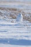 Χιονόγλαυκα στα λιβάδια Στοκ Εικόνες