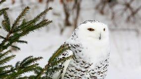 Χιονόγλαυκα στο βίντεο δέντρων πεύκων απόθεμα βίντεο