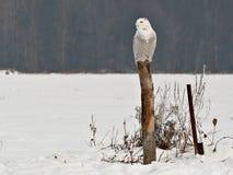 Χιονόγλαυκα Στοκ εικόνα με δικαίωμα ελεύθερης χρήσης