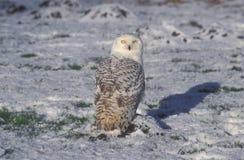 Χιονόγλαυκα, scandiacus Bubo Στοκ εικόνα με δικαίωμα ελεύθερης χρήσης