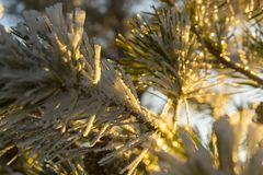 Χιονώδεις βελόνες πεύκων το χειμώνα κατά τη διάρκεια του ηλιοβασιλέματος Στοκ Φωτογραφία