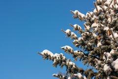 Χιονώδες κωνοφόρο Στοκ Εικόνα