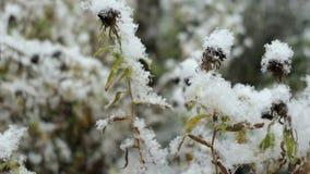 Χιονώδες λουλούδι αστέρων στο χειμώνα Πτώση χιονιού απόθεμα βίντεο