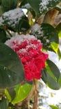 Χιονώδες camillia στοκ εικόνα