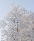 Χιονώδης ανοικτό μπλε ουρανός δέντρων σημύδων Στοκ Φωτογραφίες
