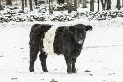 Χιονώδης γραπτή αγελάδα Στοκ φωτογραφία με δικαίωμα ελεύθερης χρήσης