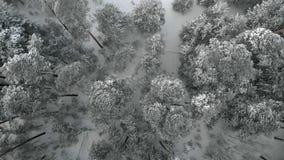 Χιονώδης δασική, εναέρια άποψη χειμερινών πεύκων με τον κηφήνα φιλμ μικρού μήκους