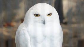 χιονώδης ζωολογικός κήπος της Πράγας κουκουβαγιών στοκ φωτογραφία