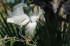 Χιονώδης τσικνιάς στη Φλώριδα στοκ εικόνες με δικαίωμα ελεύθερης χρήσης