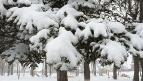 Χιονώδεις αειθαλείς κώνοι Παγωμένο απόγευμα χιονιού φιλμ μικρού μήκους