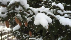 Χιονώδεις αειθαλείς κώνοι Παγωμένο απόγευμα χιονιού απόθεμα βίντεο