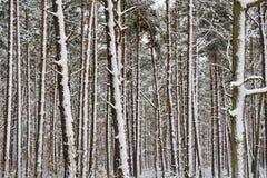 Χιονώδεις κορμοί δέντρων σε ένα δάσος δέντρων πεύκων Στοκ Εικόνα