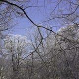 Χιονώδεις κλάδοι στο μπλε ουρανό στοκ εικόνες