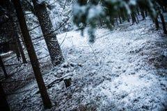 Χιονώδες δάσος Στοκ εικόνες με δικαίωμα ελεύθερης χρήσης