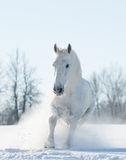 Χιονώδες άσπρο άλογο που τρέχει στον τομέα χιονιού Στοκ Εικόνες