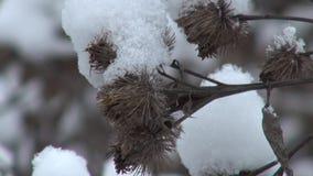 Χιονώδες ξηρό αγκάθι στη χειμερινή κινηματογράφηση σε πρώτο πλάνο φιλμ μικρού μήκους