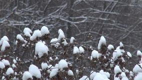 Χιονώδες ξηρό αγκάθι το χειμώνα απόθεμα βίντεο