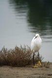 Χιονώδες πουλί τσικνιάδων Στοκ φωτογραφίες με δικαίωμα ελεύθερης χρήσης