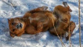 Χιονώδες σκυλί Στοκ φωτογραφία με δικαίωμα ελεύθερης χρήσης
