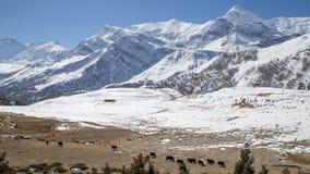 Χιονώδες τοπίο και yaks στο κύκλωμα Annapurna στο Νεπάλ Στοκ φωτογραφία με δικαίωμα ελεύθερης χρήσης