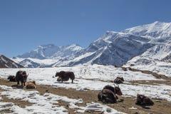 Χιονώδες τοπίο και yaks στο κύκλωμα Annapurna στο Νεπάλ Στοκ Εικόνες