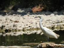 χιονώδες thula egretta τσικνιάδων Στοκ Εικόνες