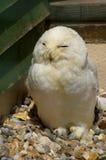 χιονώδης ζωολογικός κήπος της Πράγας κουκουβαγιών στοκ εικόνα