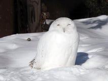 χιονώδης ζωολογικός κήπος της Πράγας κουκουβαγιών Στοκ Εικόνες
