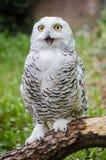 χιονώδης ζωολογικός κήπος της Πράγας κουκουβαγιών Στοκ Φωτογραφίες