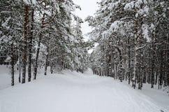 Χιονώδης κάθοδος το χειμώνα στο δάσος πεύκων το απόγευμα Στοκ Φωτογραφίες