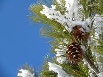 Χιονώδης κλάδος δέντρων πεύκων Στοκ Φωτογραφίες