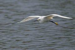 Χιονώδης τσικνιάς (thula Egretta) που πετά στοκ εικόνα με δικαίωμα ελεύθερης χρήσης