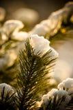 Χιονώδης χειμώνας στη δασική εκλεκτική εστίαση πεύκων Ρηχό βάθος Στοκ Φωτογραφία