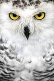 Χιονώδη μάτια κουκουβαγιών Στοκ Εικόνες