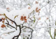 Χιονώδη μούρα viburnum Το κόκκινο guelder-ροδαλό που καλύπτει με το χιόνι μπλε snowflakes ανασκόπησης άσπρος χειμώνας Στοκ Εικόνα