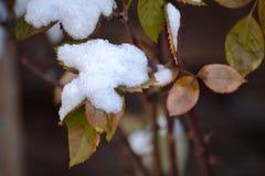 Χιονώδη τριανταφυλλιά Στοκ εικόνα με δικαίωμα ελεύθερης χρήσης
