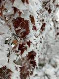 Χιονώδη φύλλα Στοκ Φωτογραφίες