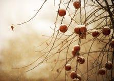 Χιονώδη χειμερινά φρούτα Στοκ Εικόνες