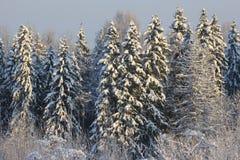 Χιονώδη spruses Στοκ Εικόνα