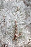 χιόνι έλατου στοκ εικόνα με δικαίωμα ελεύθερης χρήσης