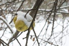Χιόνι δέντρων της Apple Στοκ Φωτογραφία