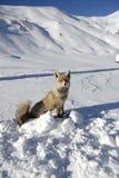 χιόνι αλεπούδων Στοκ Εικόνες